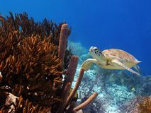Green Sea Turtle on tropical reef. A green sea turtle swimming along a colorful tropical reef royalty free stock images