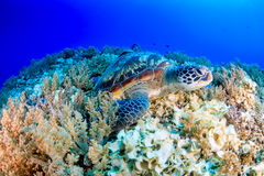 Green Sea Turtle in tropical waters Royalty Free Stock Photography