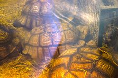 Green sea turtle under the window. Reflection Royalty Free Stock Photo