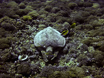 Green sea turtle underwater Stock Photography