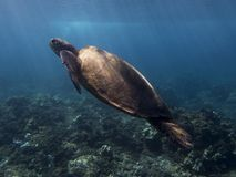 Green Sea Turtle Underwater With Beams of Sunlight on Shell Stock Image