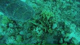 Green Sea Turtle Underwater. A beautiful green turtle swims past schools of colorful fish. Egypt. Red Sea stock video