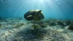 Green sea turtle underwater stock footage
