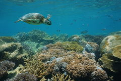 Green sea turtle underwater coral reef with fish Stock Images