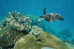 Green sea turtle underwater corals Pacific ocean Royalty Free Stock Image