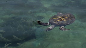 Green sea turtle in the Underwater Observatory Marine Park in Eilat, Israel. EILAT, ISR - APRIL 14 2015:Green sea turtle in the Underwater Observatory Marine stock footage