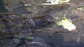 Green sea turtle in the Underwater Observatory Marine Park in Eilat, Israel stock video footage