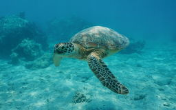 Green sea turtle underwater ocean French Polynesia Stock Image