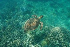 A green sea turtle underwater Pacific ocean Stock Photos