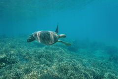 Green sea turtle underwater Pacific ocean Royalty Free Stock Image