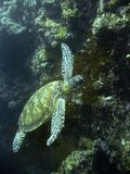 Green sea turtle underwater sipadan coral reef Stock Image