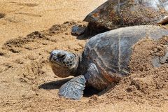 Green sea turtle staying cool on the beach on Maui. Royalty Free Stock Photography