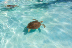Green sea turtle. Close-up. Green sea turtle in water. Close-up Stock Photos