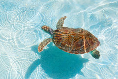 Green sea turtle. Close-up. Green sea turtle in water. Close-up Stock Photo