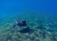 Green sea turtle in sea water. Cute sea turtle dives. Marine species in wild nature. Royalty Free Stock Photography