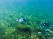 Green sea turtle in sea water. Tropical lagoon inhabitant. Marine species in wild nature. Stock Images