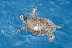 Green sea turtle in the Whitsundays, Australia. Green sea turtle at the Great Barrier Reef in the Whitsundays, Australia Royalty Free Stock Image