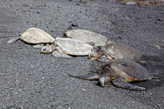 Green Sea Turtles on Black Sand Beach Stock Photos