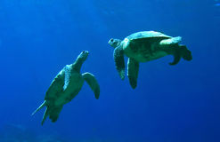 Green Sea Turtles Playing royalty free stock images