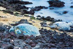 Green sea turtles Royalty Free Stock Photo