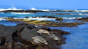 Green sea turtles resting on rocks in Hawaii panoramic wide image. Green sea turtles resting worming up on rocks in Hawaii panoramic wide image royalty free stock photo