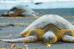 Green sea turtles Royalty Free Stock Photo