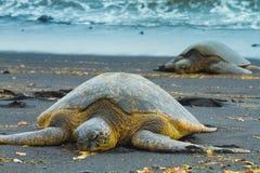 Green sea turtles Royalty Free Stock Photos