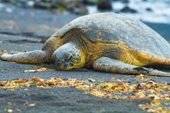 Green sea turtles Stock Images