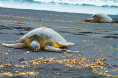 Green sea turtles Stock Photos