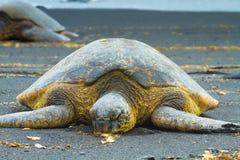 Green sea turtles Stock Photography
