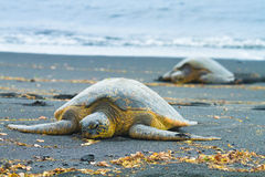 Green sea turtles Stock Photo