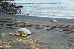 Green sea turtles Royalty Free Stock Image