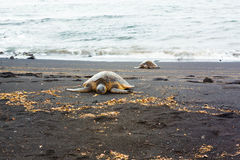 Green sea turtles Royalty Free Stock Photography