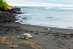 Green sea turtles Stock Image