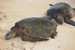 Green sea turtleson Oahu beach, Hawaii Royalty Free Stock Photography