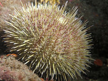 Green Sea Urchin. A close up of a Green Urchin photographed while scuba diving in British Columbia, Canada.  Often harvested for uni (gonads) and shipped to Royalty Free Stock Photos