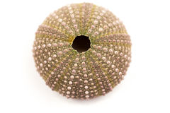 Green sea urchin Stock Images
