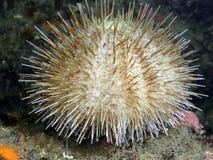 Green Sea Urchin Royalty Free Stock Image
