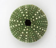 Green Sea Urchin, isolated Royalty Free Stock Images