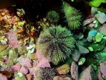 Green sea urchin Stock Photos
