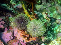 Green sea urchins Royalty Free Stock Image