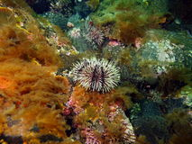 Green sea urchins Stock Photography