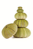 Green sea urchins stacked Stock Photo