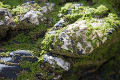 Green sea weed on white igneous rocks. Igneous rocks of white and grey on a beach with green sea weed clinging to the face of the stone Royalty Free Stock Images