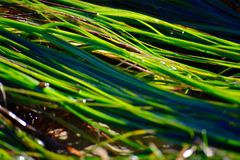Green Seagrass. Bright green seagrass seaweed closeup Royalty Free Stock Photo
