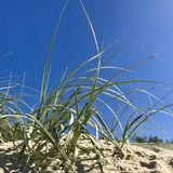 Seagrass on a sandy beach in sun with sand blowing. Green seagrass on a sandy beach the blue sky and sunlight coming down through the sand blown by the wind Royalty Free Stock Images