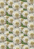 Green seamless background with large white roses Royalty Free Stock Photo