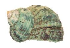Green seashell cutout Royalty Free Stock Photos