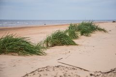 A green seaside grass growing in the sand. Beautiful beach flora in the wind. Stock Images