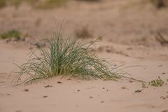 A green seaside grass growing in the sand. Beautiful beach flora in the wind. Stock Image